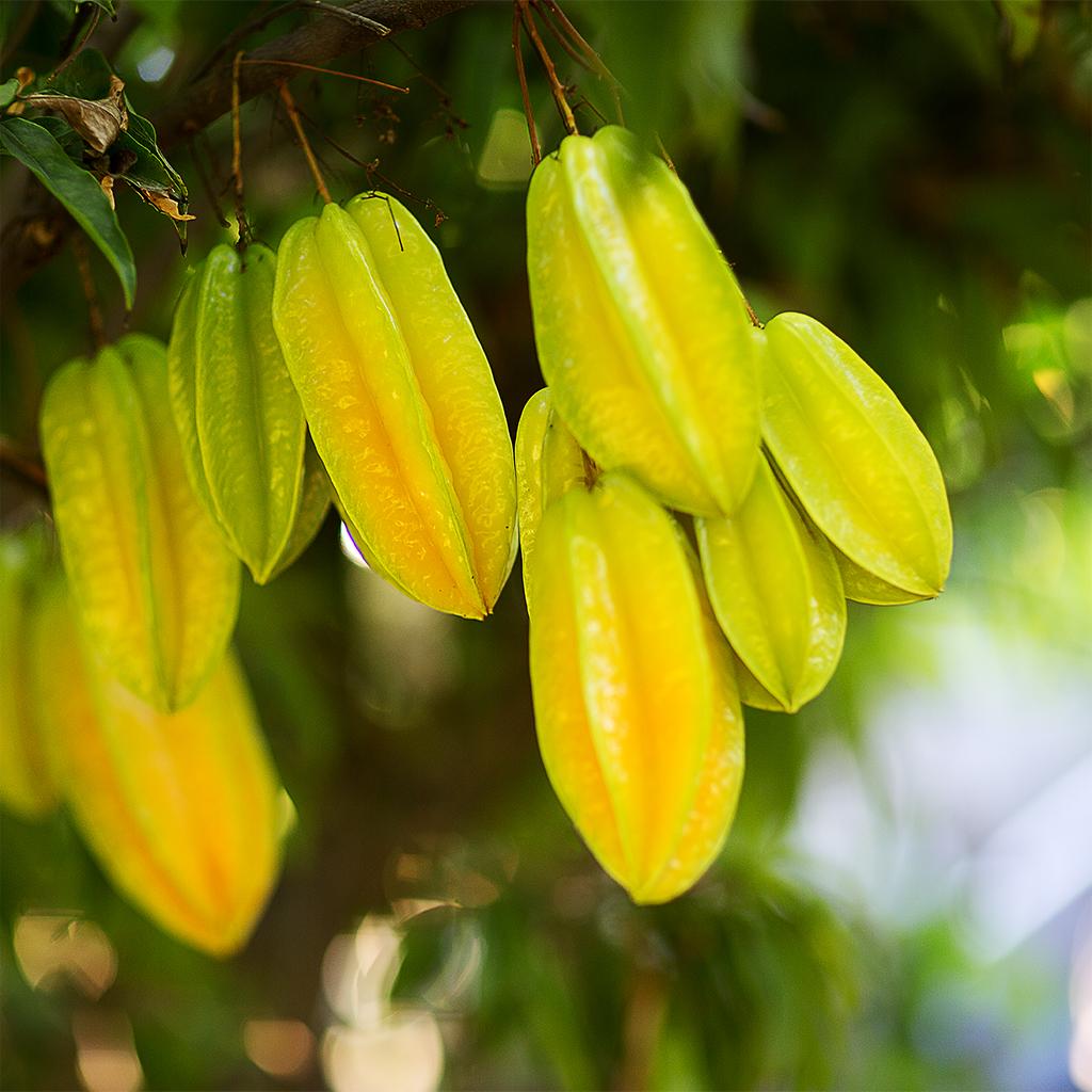 Carambola Ch Fruit Tree Nursery